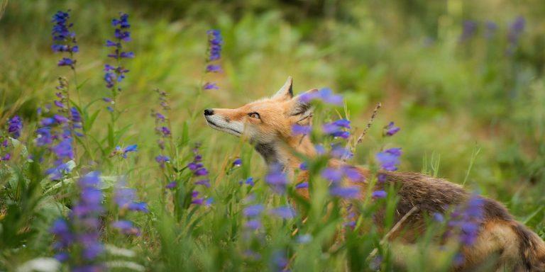 Что такое вредоносное ПО Purple Fox и как оно может распространяться на Windows?